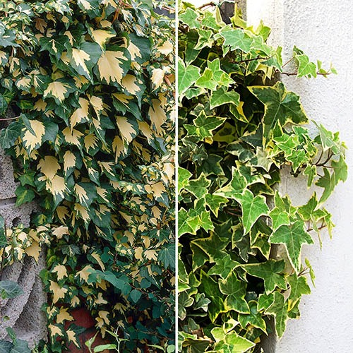 Pair of Variegated Ivy Plants