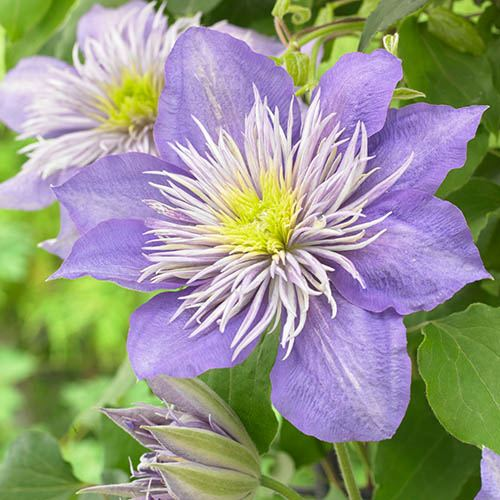 Premium Clematis Crystal Fountain
