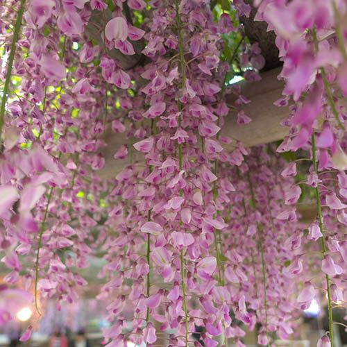 Pink Japanese Wisteria 'Rosea'