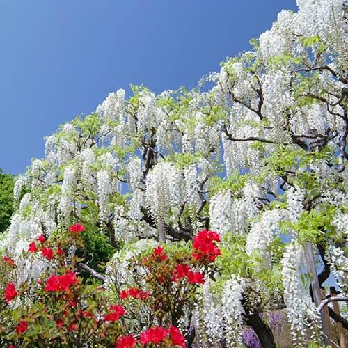 White Japanese Wisteria Alba