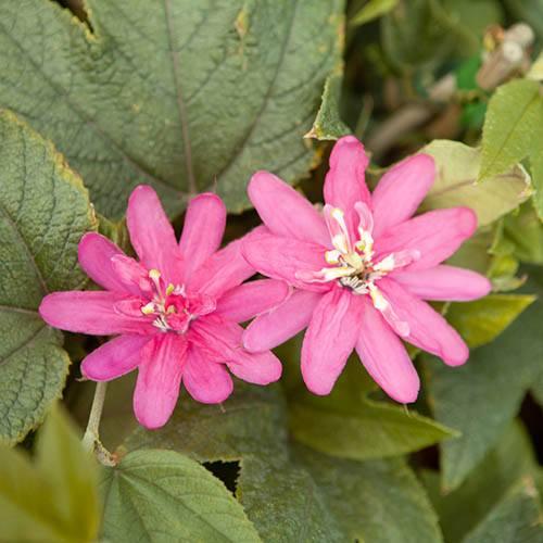 Passion Flower insignis 'Rosea'
