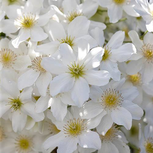 Premium Evergreen Clematis Collection 3 Plants