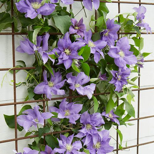 Boulevard Patio Clematis Olympia