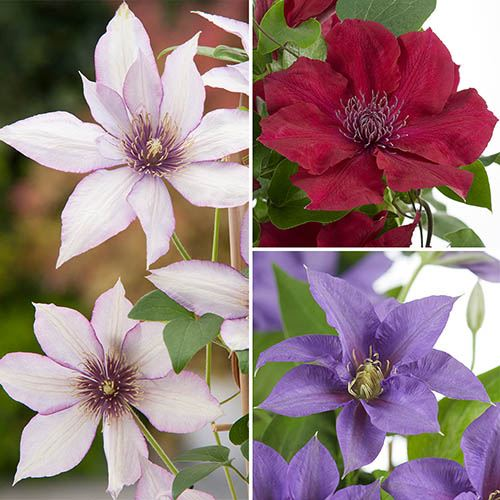 Patio Clematis Collection x 3, BOULEVARD(R) Series