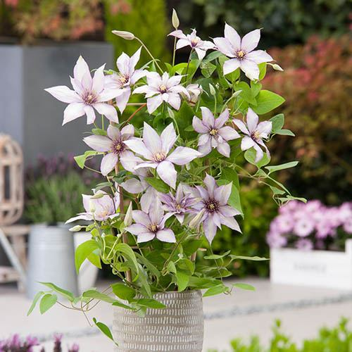 Patio Clematis Collection x 3, Acropolis(TM) Boulevard(R) Evipo078(N) Series
