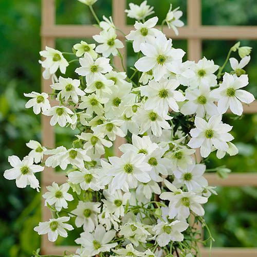 Premium Evergreen Clematis Collection