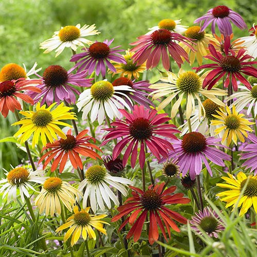Echinacea Lucky Dip Mixed Coneflower