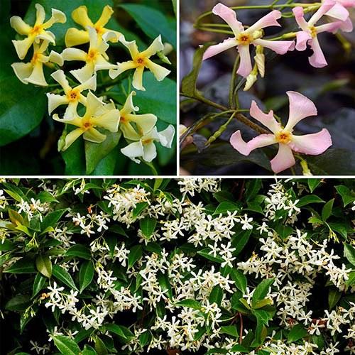 Trachelospermum Collection