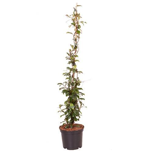 Trachelospermum asiaticum Star Jasmine Pink