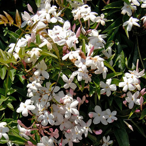 Fragrant Climbing Plant Collection