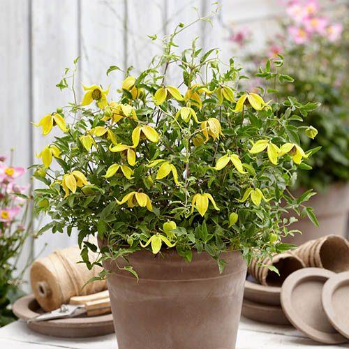 Basket Clematis tangutica Little Lemons