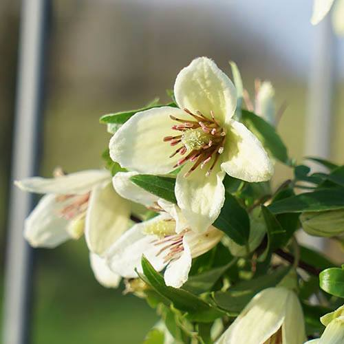 Clematis Christmas Surprise 9cm