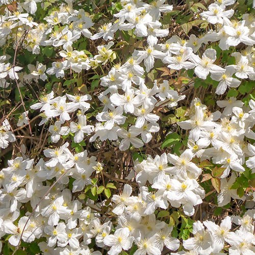 Clematis montana Collection