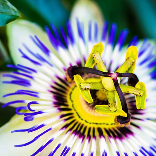 Passion Flower - Passifloral caerulea