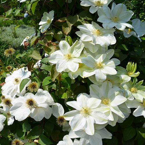 Large Flowered Clematis Sylvia Denny