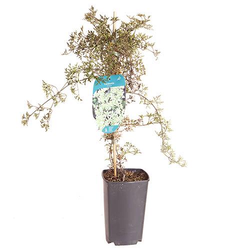 Evergreen Clematis Pixie