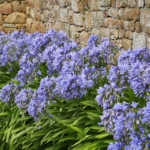 Perennial Agapanthus Blue (African Lily)