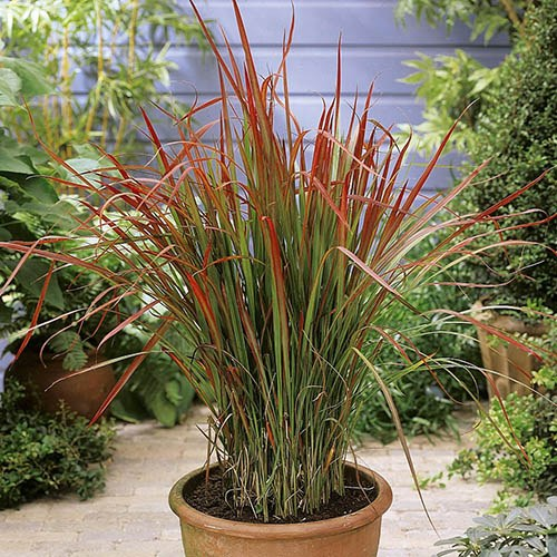 Imperata Red Baron - Blood Grass
