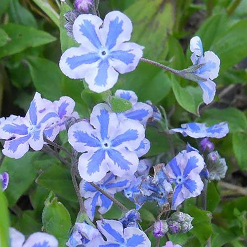 Omphalodes Starry Eyes