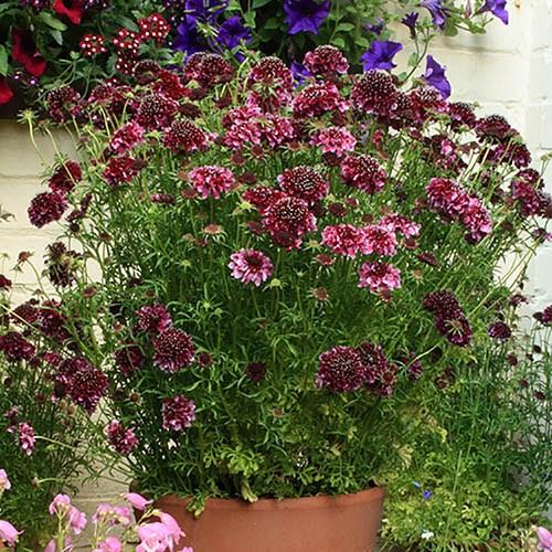 Hardy Purple Scabious Barocca