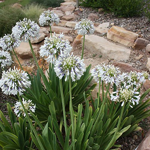 Pair of Agapanthus Queen Mum plants