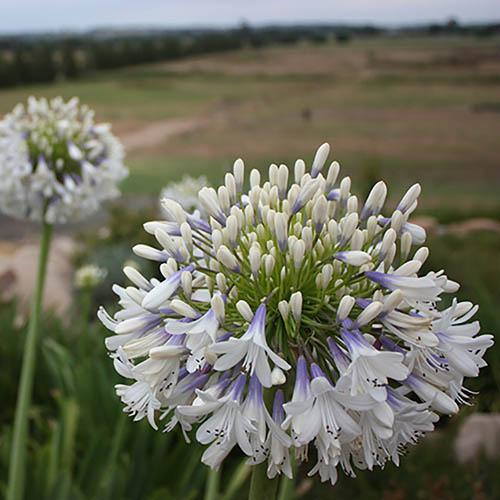 Pair of Agapanthus Queen Mum African Lily