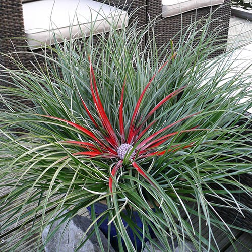 Hardy Bromeliad Fascicularia bicolour