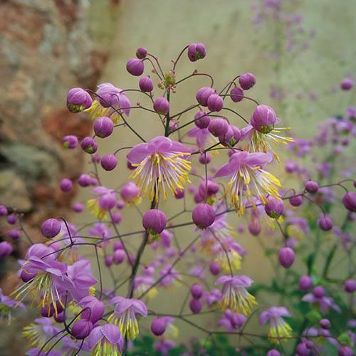 Thalictrum rochebruneanum Meadow Rue