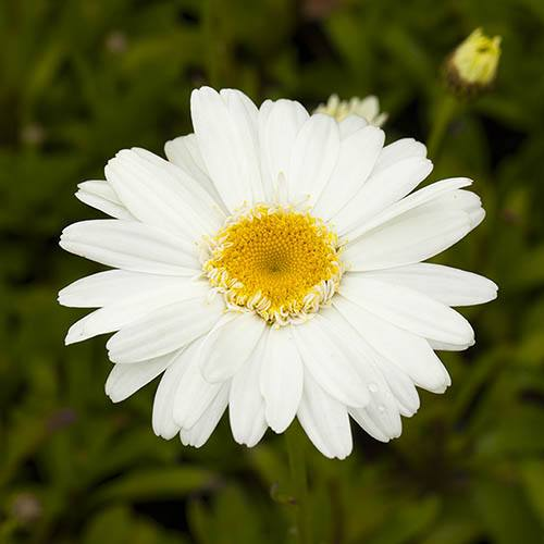 Leucanthemum Highland White Dream