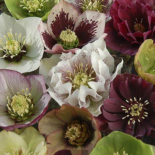 Double Flowered Hellebore Double Queen