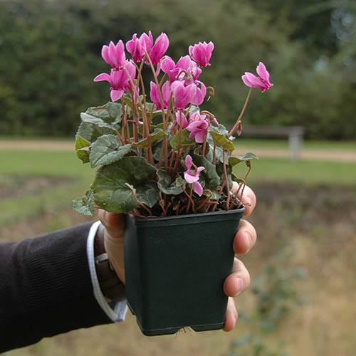 Autumn Flowering Cyclamen hederifolium