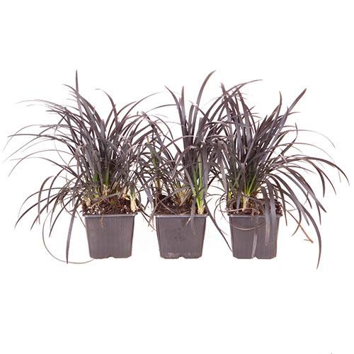 Ophiopogon - Black Dragon Grass