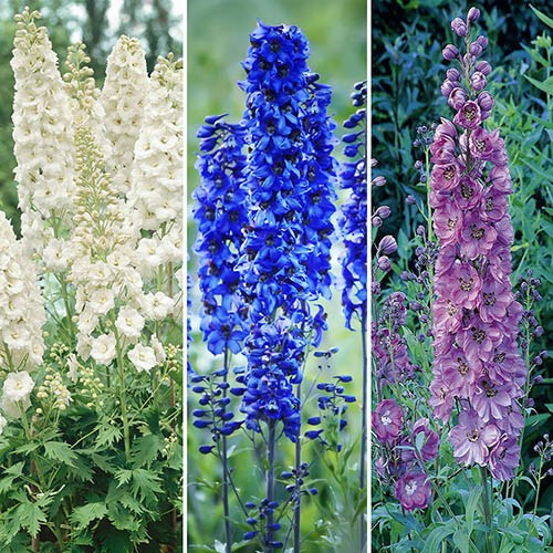 Delphinium Collection