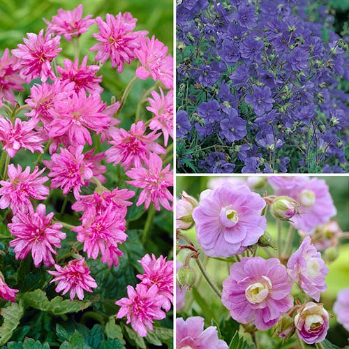 Hardy Double Flowered Geranium Collection - 3 x 9cm Potted Plants