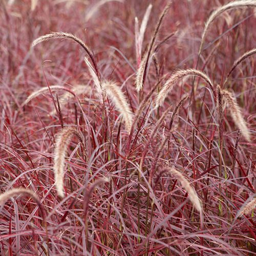 Purple Fountain Grass Pennisetum Fireworks