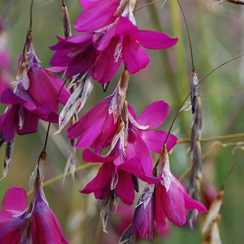 Dierama Blackberry Bells 3 x 9cm