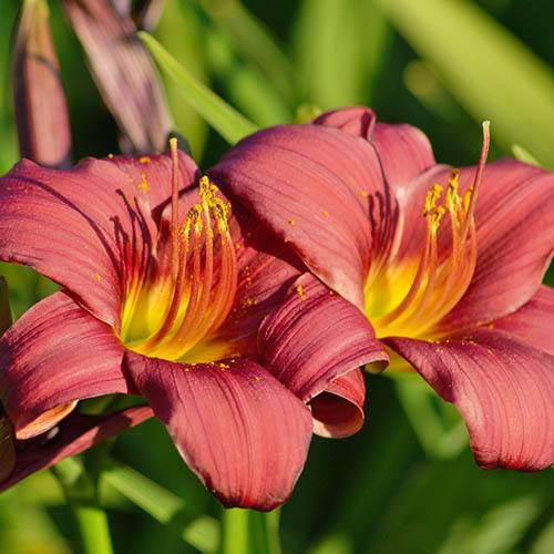 Bold & Bright Daylily Collection