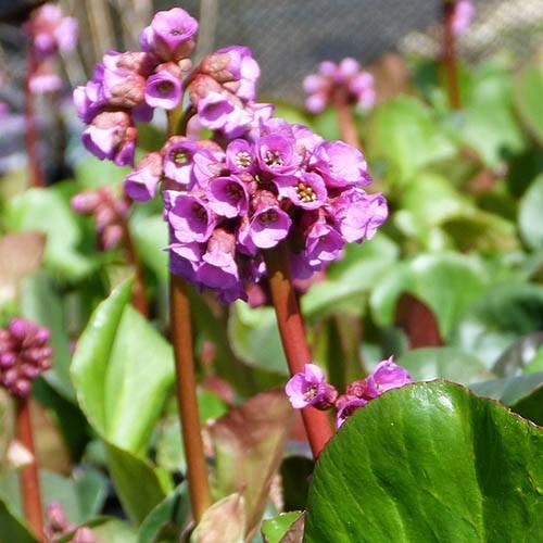 Bergenia cordifolia Rotblum 3L