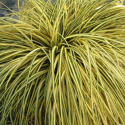 Carex Evergold 3L