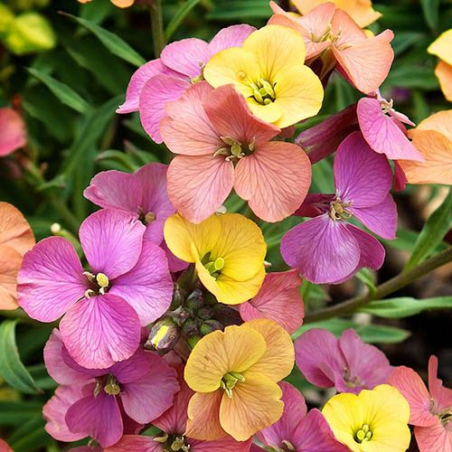 Erysimum Paint Box 3L