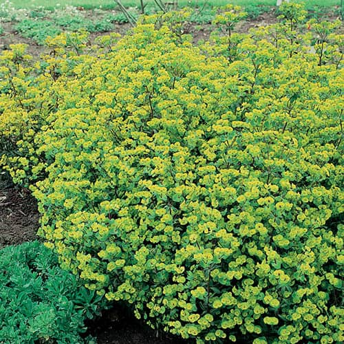 Euphorbia amygdaloides purpurea 3L
