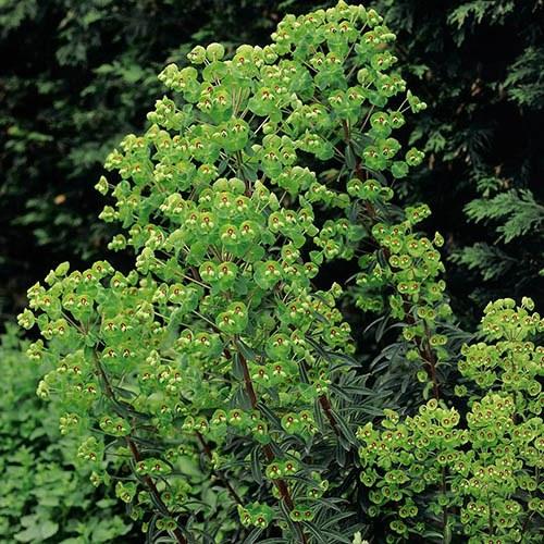 Euphorbia Humpty Dumpty 3L