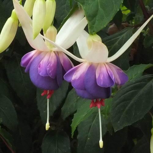 Fuchsia Deltas Sarah 3L
