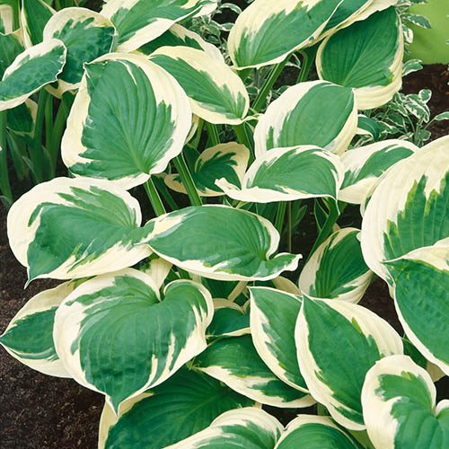 Hosta Patriot 3L
