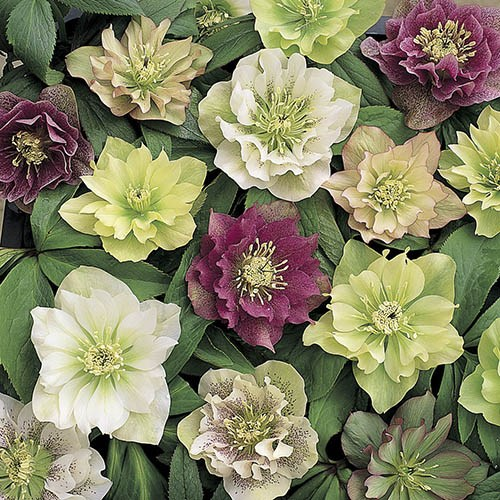 Hellebore Double Queens Mix