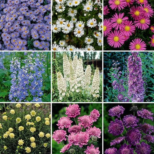 Cottage Garden Collection - Delphinium, Aster & Scabious