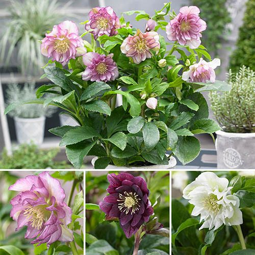 Hellebore Double Ellen Mix