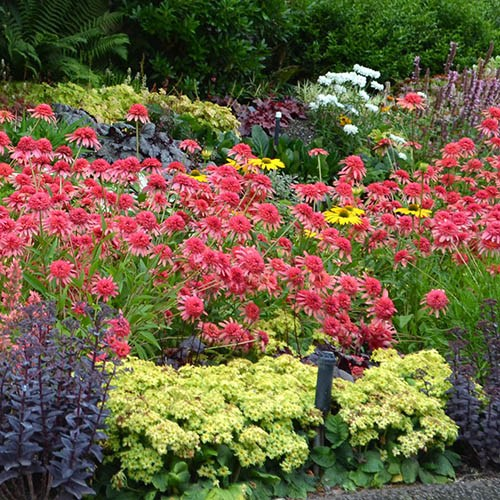 Hardy Perennial Plant Lucky Dip