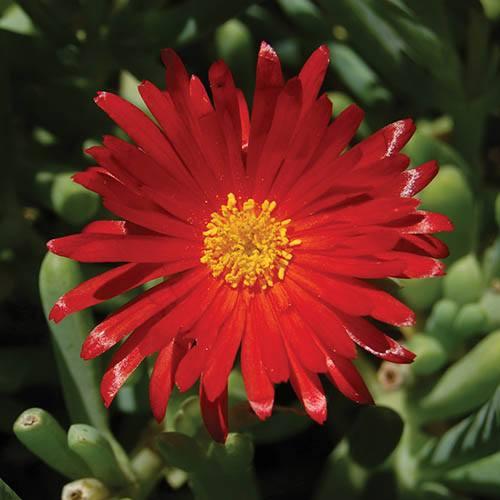 Lampranthus aureus, Red and Orange