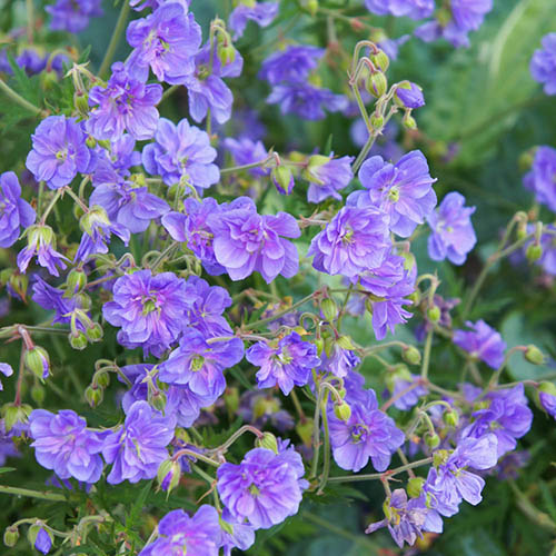 Geranium himalayense Plenum (Birch Double)